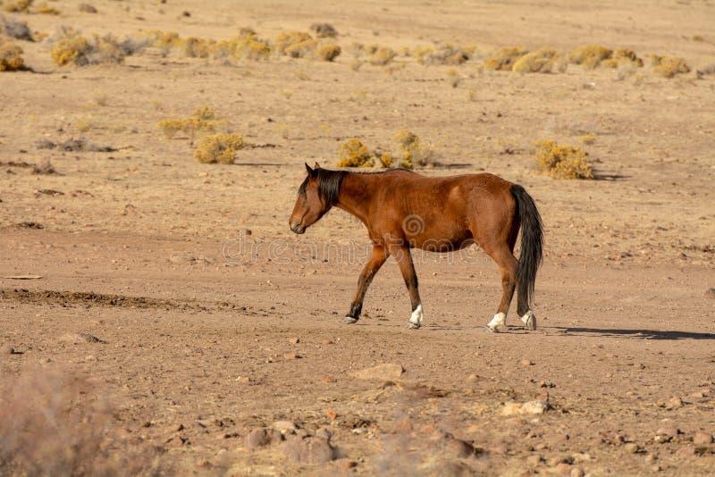 Wilder Mustang Browns in der Wüste stockfotografie