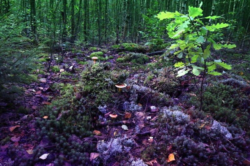 Wilder mysteriöser Wald mit Meister des Holzes vermehrt sich explosionsartig lizenzfreie stockfotos