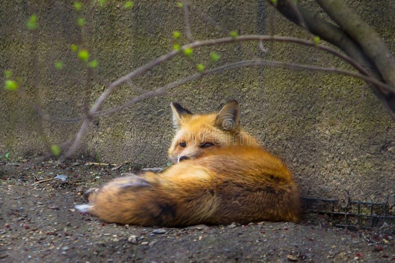 Wilder netter schöner Fuchs, der aus den Grund nahe einer Wand in einem Zoo legt stockfotos