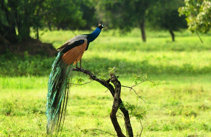 Wilder Pfau an Nationalpark Yala stockfotos