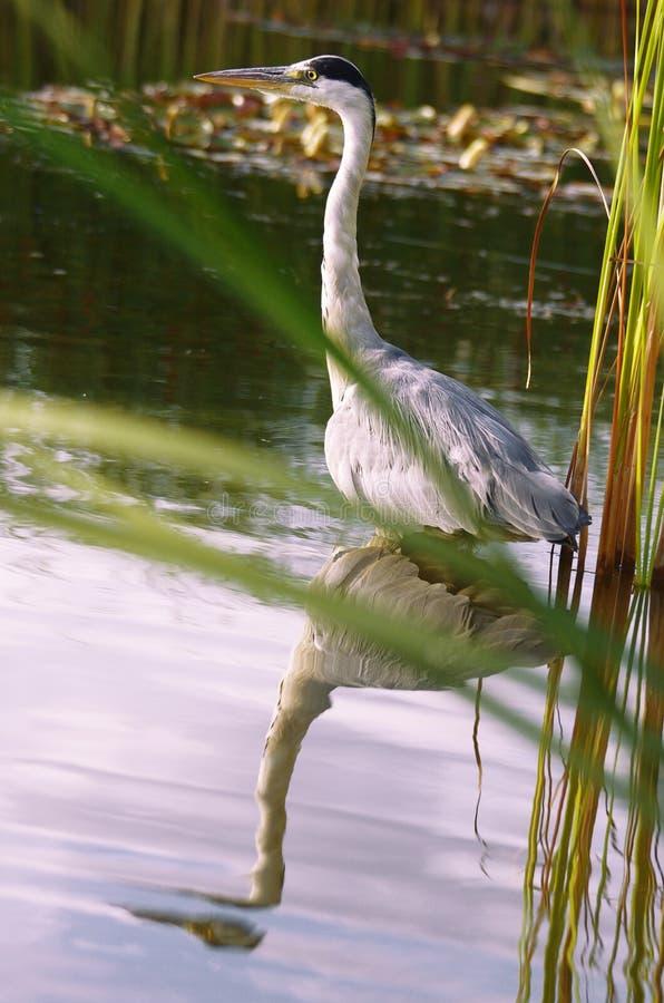 Wilder Reiher des großen Blaus auf Wasser mit Spiegeleffekt lizenzfreie stockfotografie