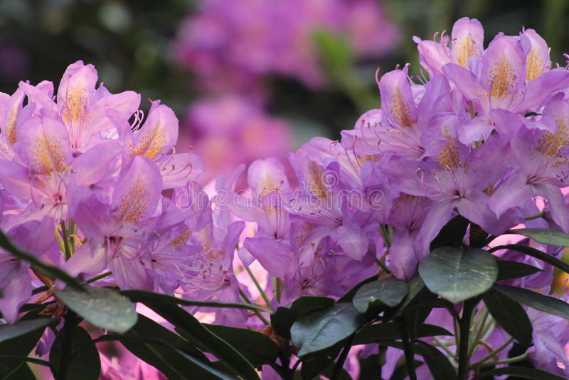 Wilder Rhododendron in der Blume lizenzfreies stockbild