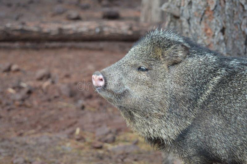 Wilder schöner Pekarischweinabschluß herauf Foto lizenzfreie stockfotos