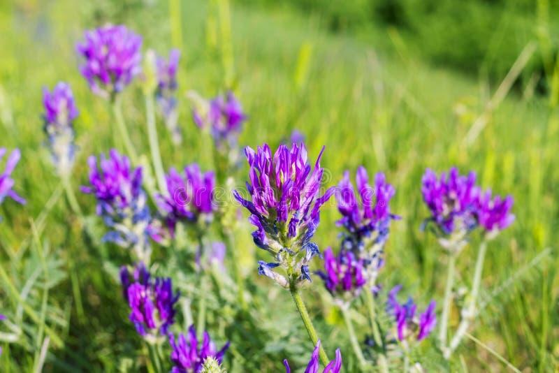 Wilder schöner purpurroter Klee blüht in der grünen Wiese, Feld, Blumennatursommerhintergrund stockbild