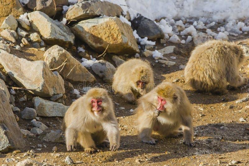 Wilder Schnee-Affe, der sich vorbereitet anzugreifen lizenzfreies stockbild