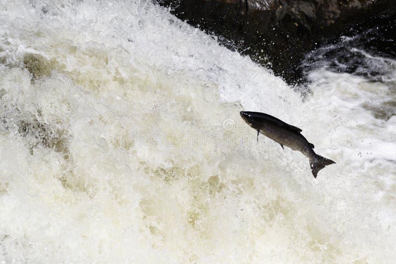 Wilder schottischer Lachs, der auf Wasserfall springt lizenzfreie stockbilder