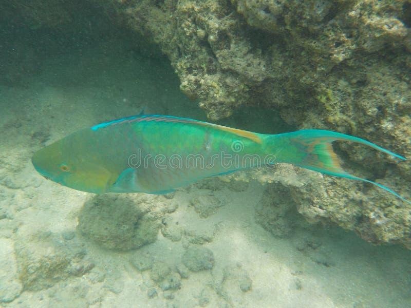 Wilder schwimmender hawaiischer Papageienfisch mit dem langen Schwanz lizenzfreie stockbilder