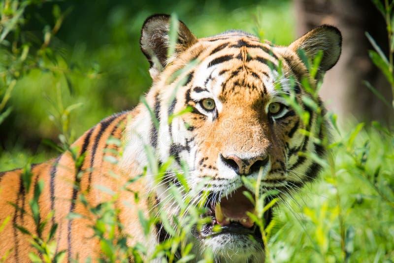 Wilder sibirischer Tiger im Dschungel stockfotografie