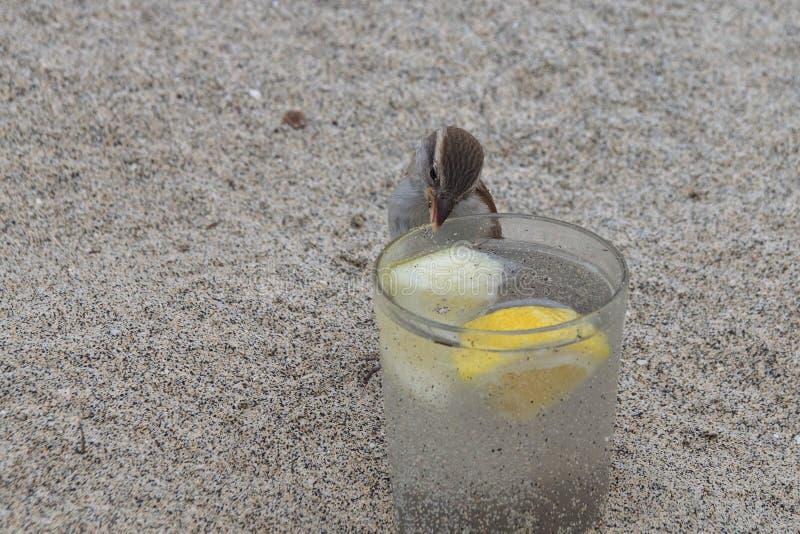 Wilder Spatz, der von einem Glas Gin Tonic trinkt stockbild