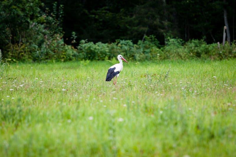 Wilder Storch in der Wiese lizenzfreie stockbilder