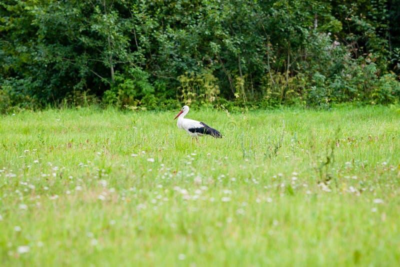 Wilder Storch in der Wiese stockbilder