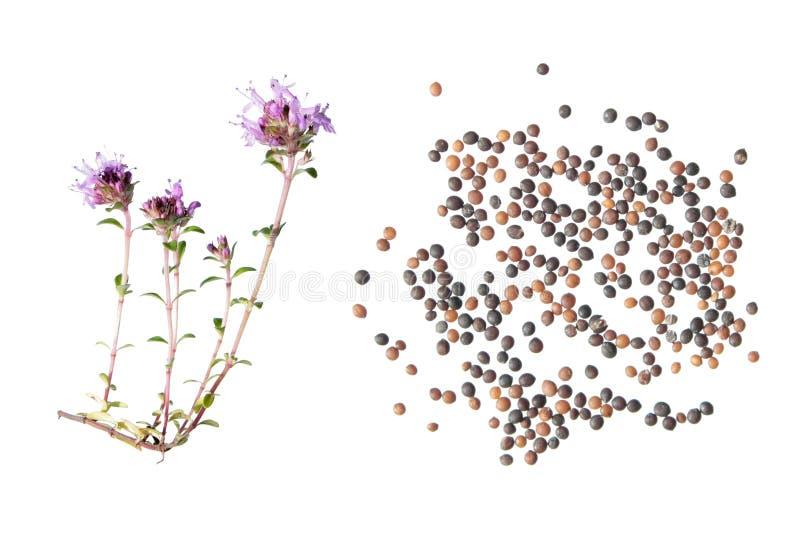 Wilder Thymian Thymusdrüse serpyllum Blume und Samen auf weißem Hintergrund lizenzfreies stockfoto