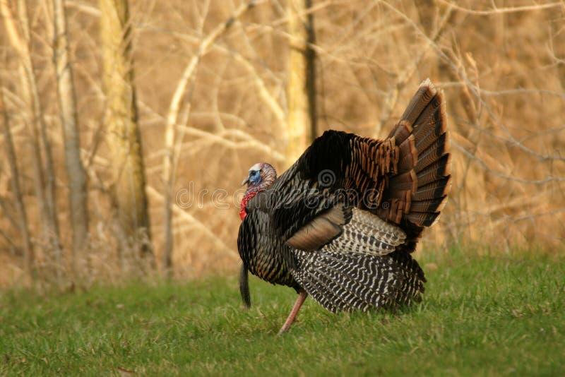 Wilder Tom die Türkei stockfoto