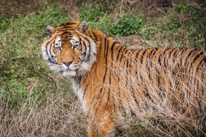 wilder tygrys zdjęcia stock