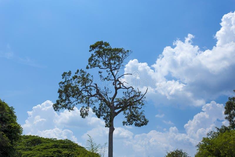 Wilder und sonderbarer Baum auf dem Hintergrund des blauen Himmels stockfotografie