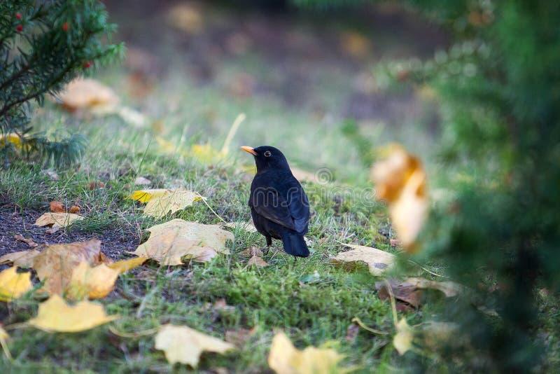 Wilder Vogel Amsel, die auf Gras im Herbstpark stationiert stockbilder