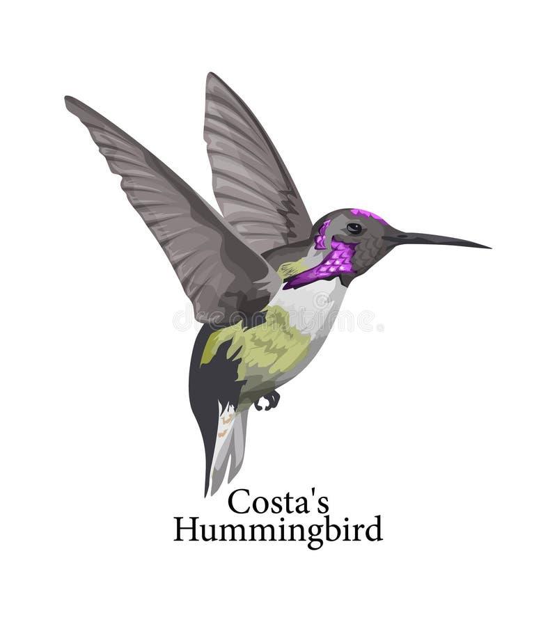 Wilder Vogel Costas Hummingbirds mit schöner Feder stock abbildung