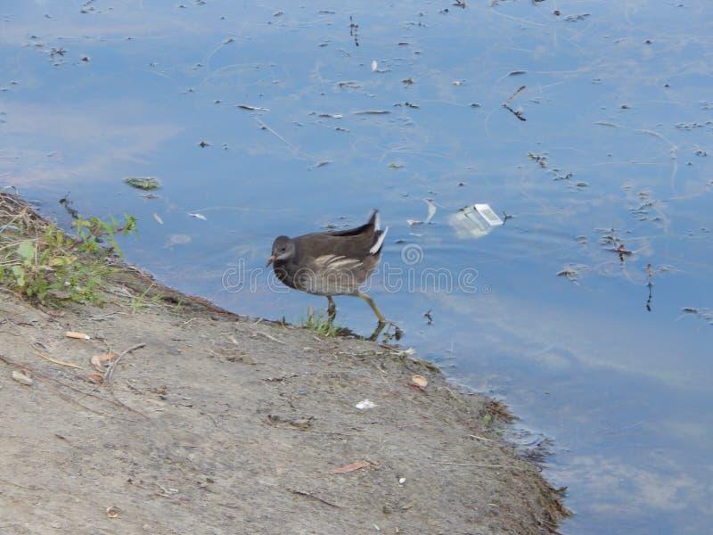 wilder Vogel des wilden Ebers, der den See bereitsteht stockbild