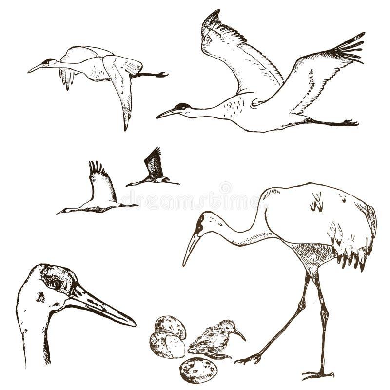 Wilder Vogelvektor Tiere in der Natur oder im Himmel Kr?ne oder Grus und Storch oder Shadoof und Ciconia mit Fl?geln graviert stock abbildung