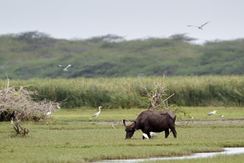 Wilder Wasserbüffel in Nationalpark Bundala, Sri Lanka stockfotografie