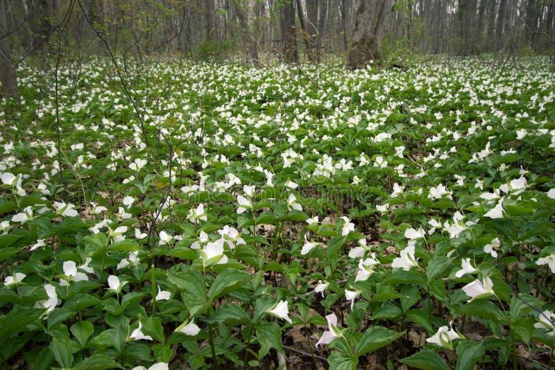 Wilder weißer Trillium legen Forest Floor mit Teppich aus stockbild