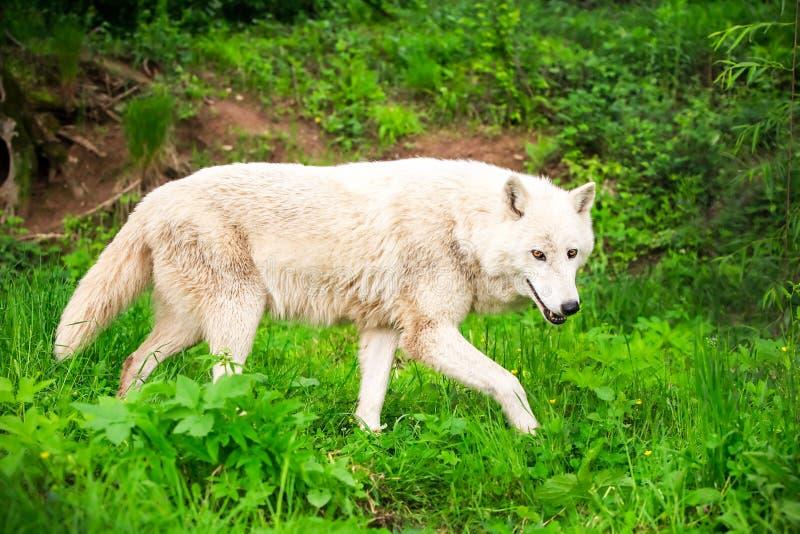 Wilder weißer Wolf stockbild