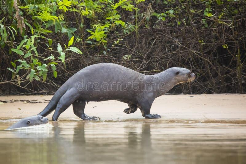 Wilder weiblicher Riesenotter, der entlang Strand durch Dschungel schlendert lizenzfreie stockfotos