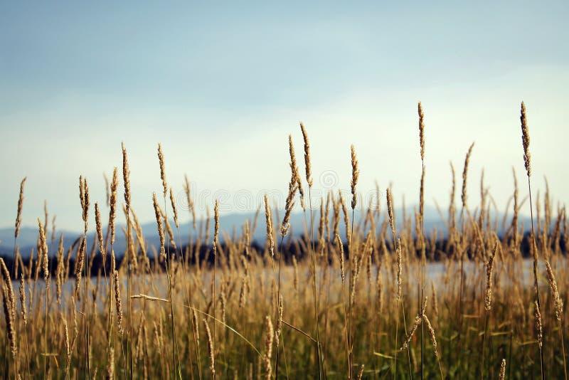 Wilder Weizen in der Wiese durch See stockfotografie
