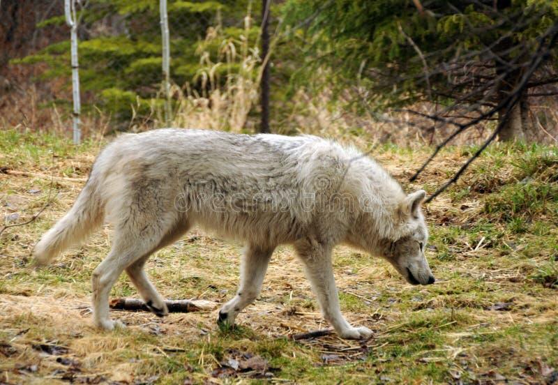 Wilder Wolf lizenzfreies stockfoto