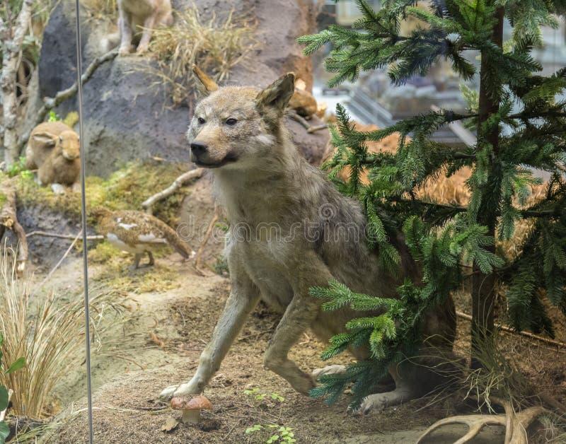 Wilder Wolf in einem forrest stockfotos