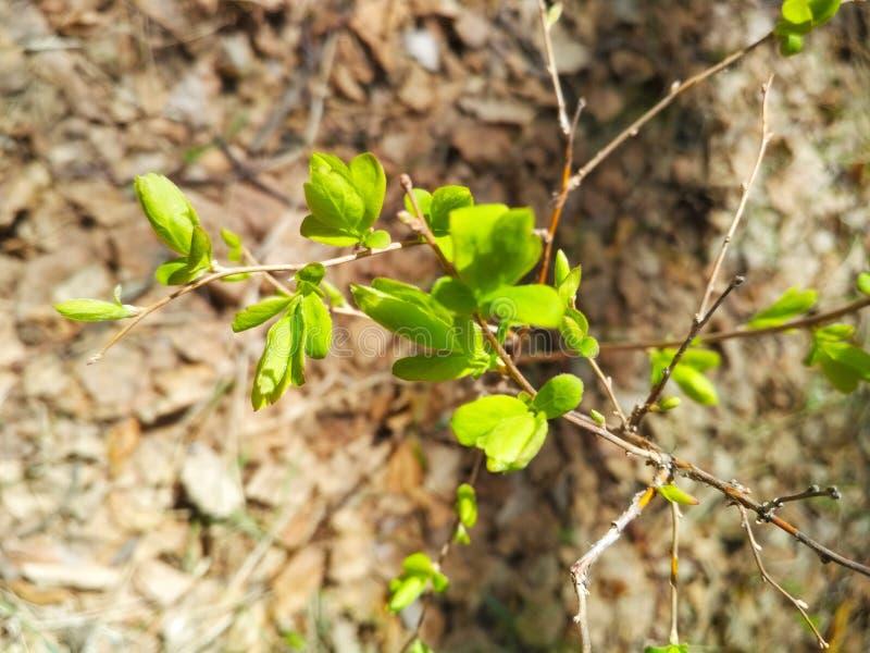 Wilder Zweig mit jungen Frühlingsgrüns stockbilder