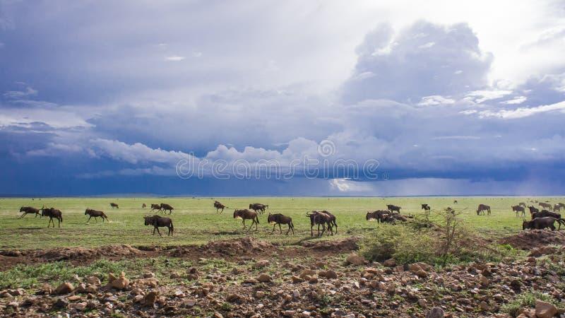 Wilderbeast迁移,塞伦盖蒂,非洲 免版税库存图片