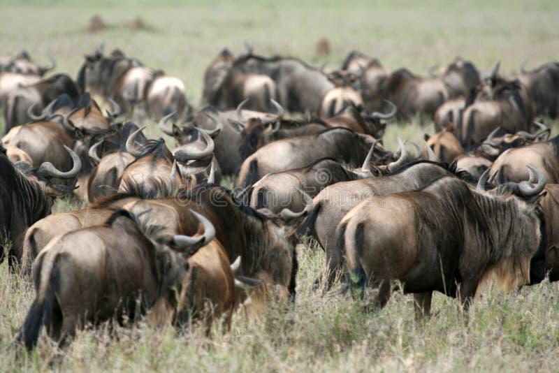 wilderbeast Танзании serengeti сафари Африки стоковая фотография