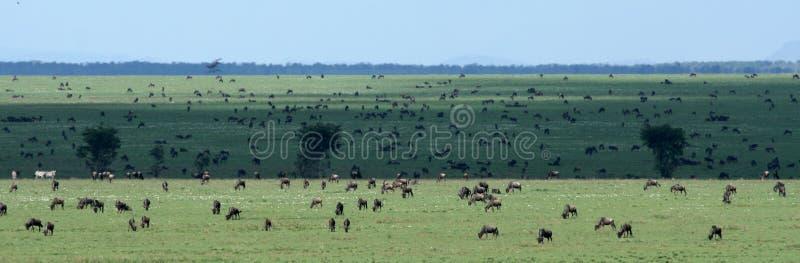 wilderbeast Танзании serengeti сафари Африки стоковые изображения rf