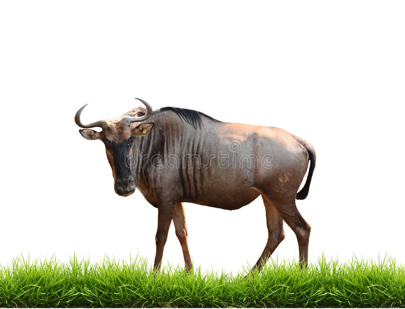 Wilderbeest with green grass isolated royalty free stock image