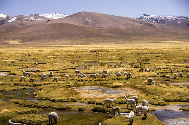 Wilderness of Andes mountain range. Lama Flock in The Andes Of Peru near Arequipa stock photo