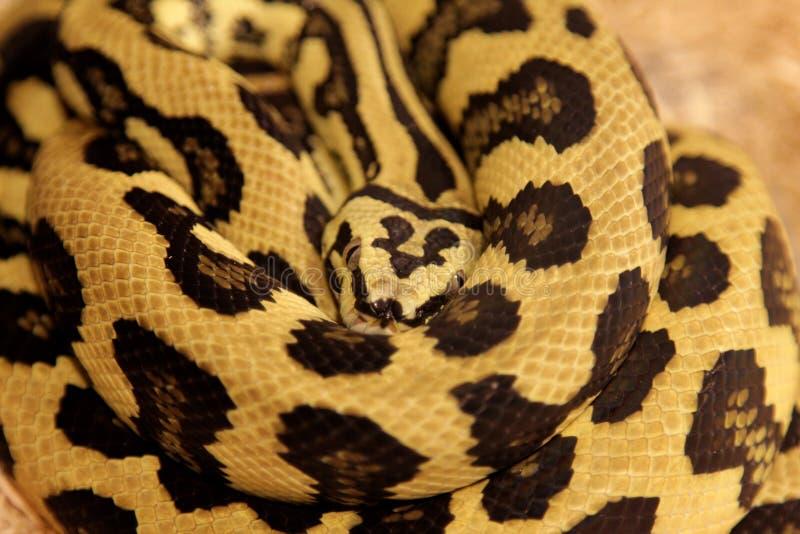 Wildernis Jag Carpet Python stock afbeelding