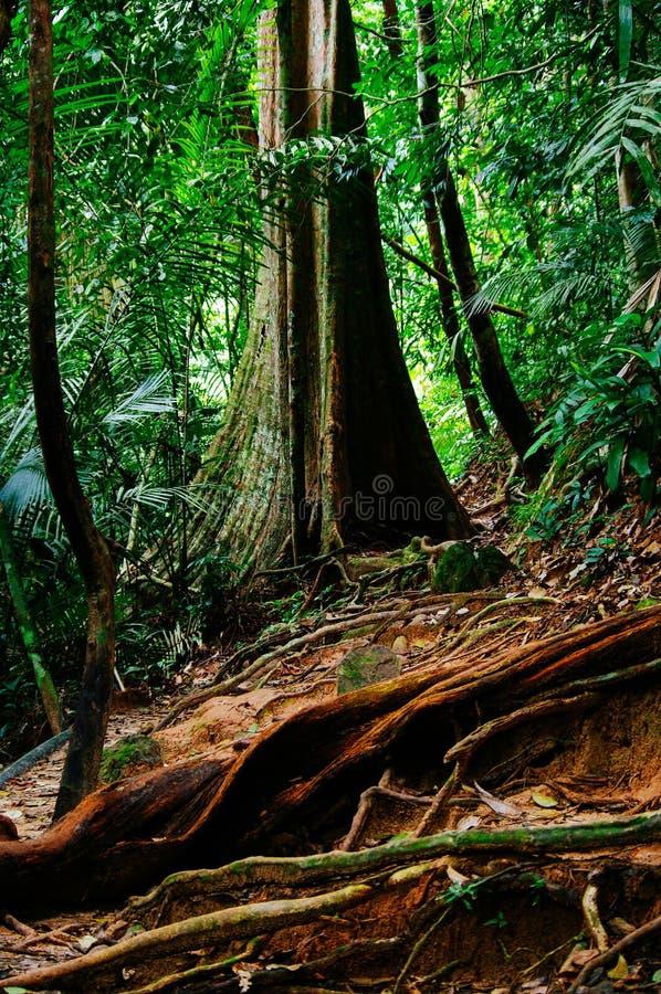 Wildernisslepen na regen in tropisch regenwoud van Sabbah, Borneo Maleisië stock afbeelding