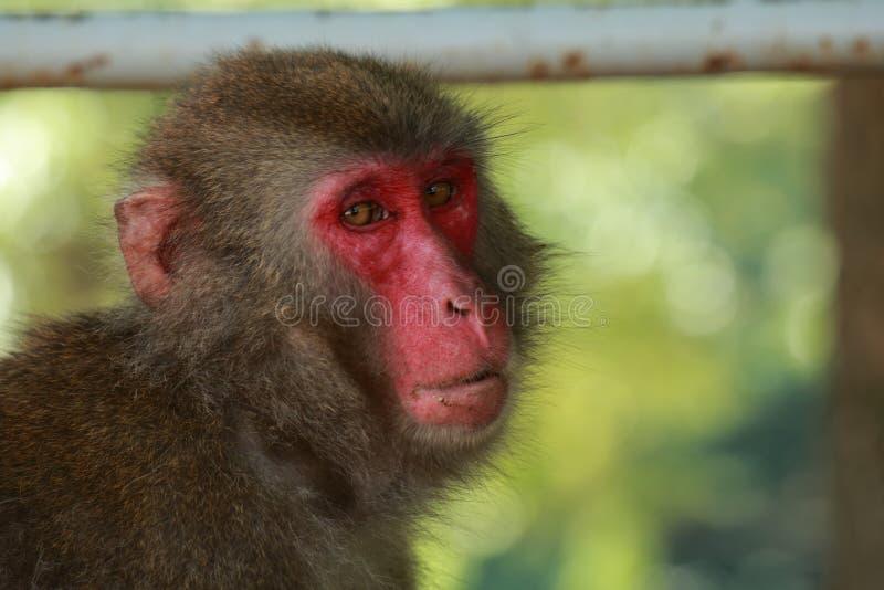 Wildes Affe ` s Gesicht, wilder Affe A erfasste am Fütterungsort natürlichen Zoos Takasakiyama stockfotos