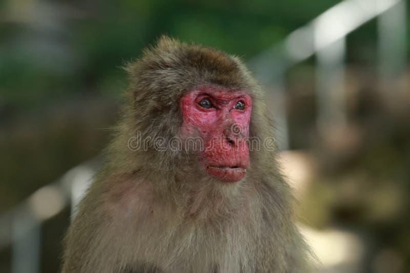 Wildes Affe ` s Gesicht, wilder Affe A erfasste am Fütterungsort natürlichen Zoos Takasakiyama stockbilder
