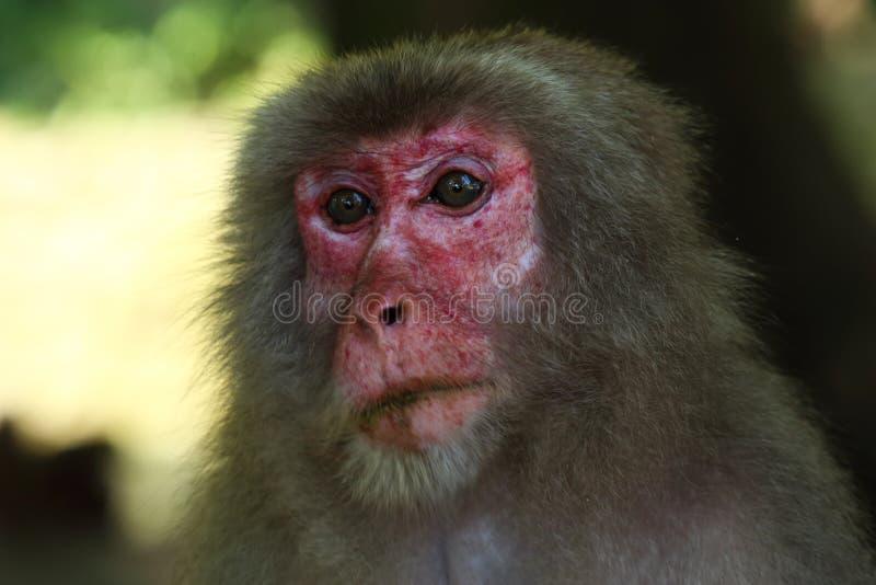 Wildes Affe ` s Gesicht, wilder Affe A erfasste am Fütterungsort natürlichen Zoos Takasakiyama lizenzfreie stockfotografie