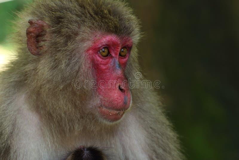 Wildes Affe ` s Gesicht, wilder Affe A erfasste am Fütterungsort natürlichen Zoos Takasakiyama stockfoto