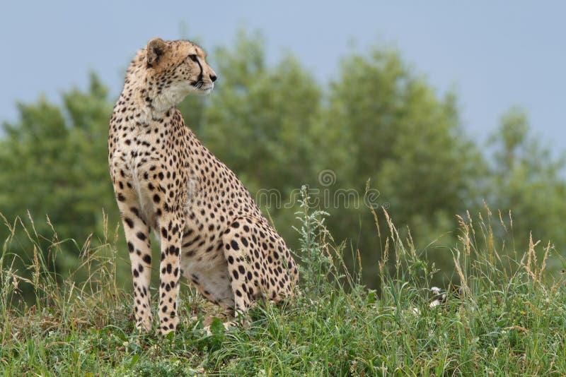 Wildes afrikanisches Gepardporträt, schönes Säugetiertier stockbild