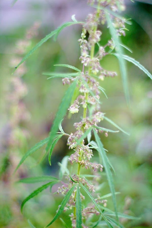 wildes blühendes Marihuana des Busches stockbild