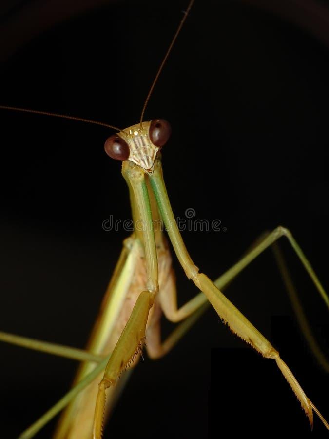 Wildes braunes Insektenporträt der Gottesanbeterin enorm lizenzfreie stockfotografie
