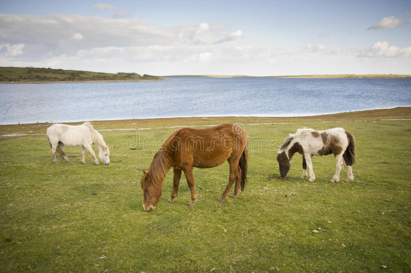 Wildes Dartmoor Pony stockbilder