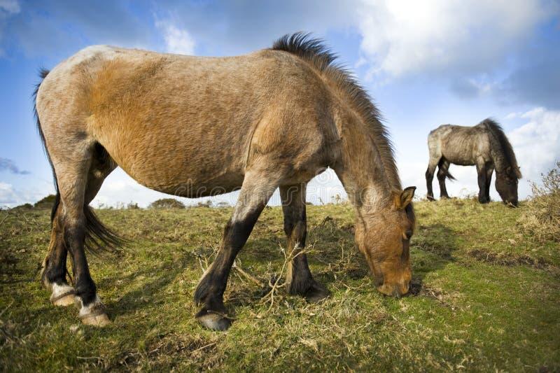 Wildes Dartmoor Pony stockfotografie