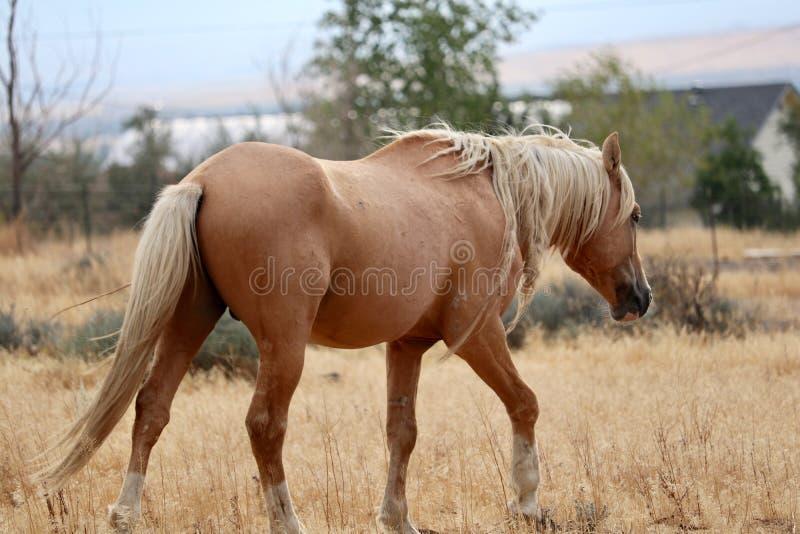 Wildes durchstreifendes Pferd des wilden Palomino-Hengst-amerikanischen Mustangs lizenzfreies stockfoto