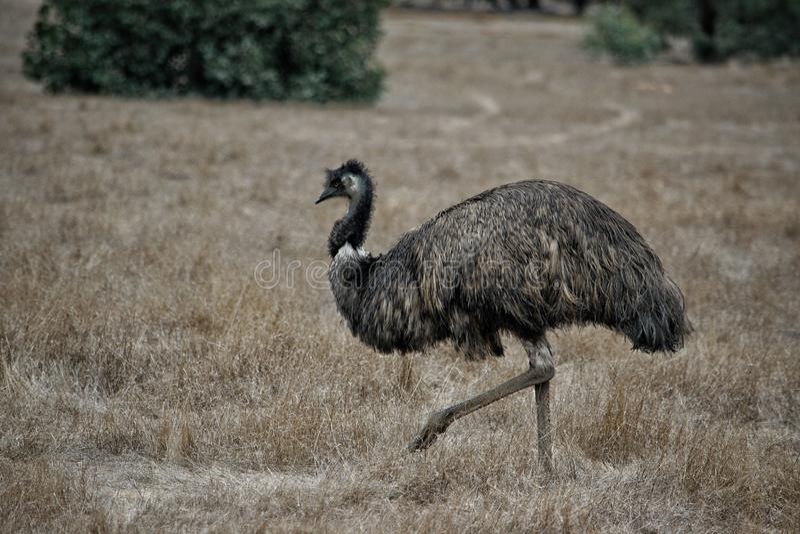 Wildes Emu, das im Serendipity-Schongebiet, Lara, Victoria, Australien durchstreift lizenzfreie stockfotografie