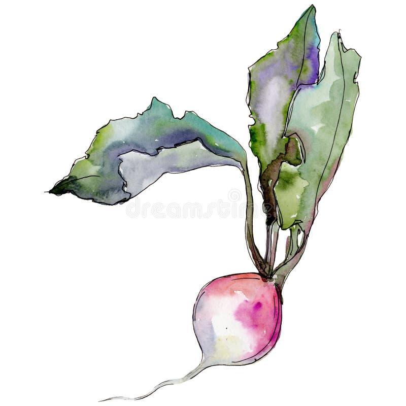 Wildes Gemüse des Rettichs in einer Aquarellart lokalisiert vektor abbildung